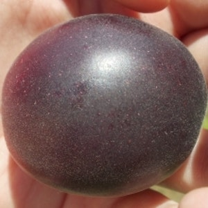"Cherrykose - Prunus ""Cherrykose"""