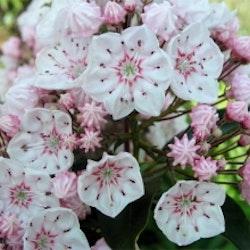"""Kalmia latifolia """"Zebulon"""""""