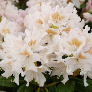 """Rhododendron """"Cunningsham´s White """""""