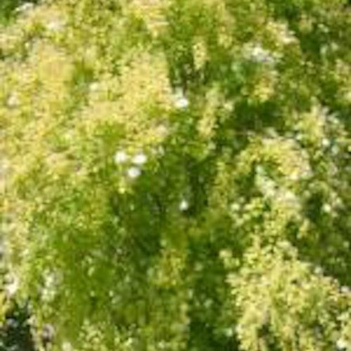 Gulbladig bukettspirea -  Spiraea vanhouttei 'Gold Fountain'