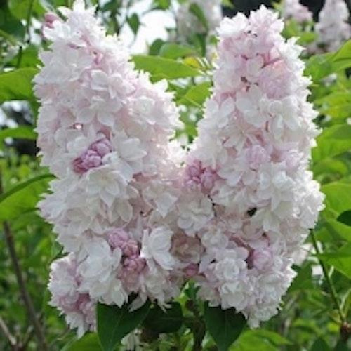 """Syren """"Beauty of Moskow"""" -  Syringa vulgaris """"Krasavitsa Moskvy"""""""