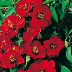 """Hybrid rosenkvitten """"Nicoline"""" - Chaenomeles japonica """"Nicoline"""""""