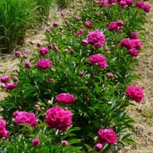 """Luktpion """"Kansas"""" -Paeonia lactiflora 'Kansas'"""
