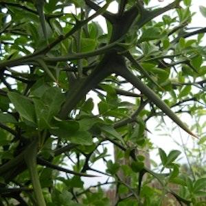 Citrontörne – Poncirus trifoliata