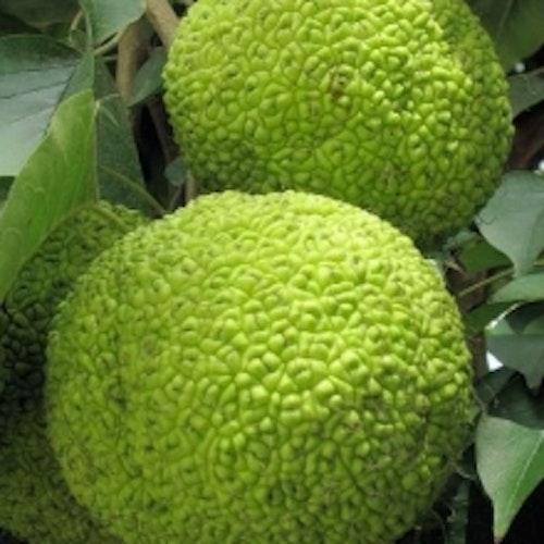 Citrusmullbär - Maclura pomifera