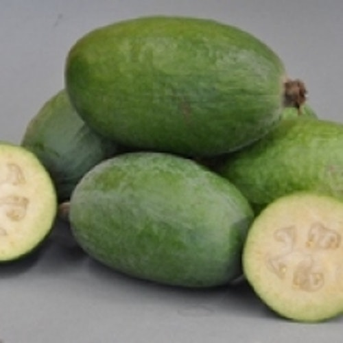 "Ananasguava ""Mammouth"" -  Acca  sellowiana 'Mammouth'"