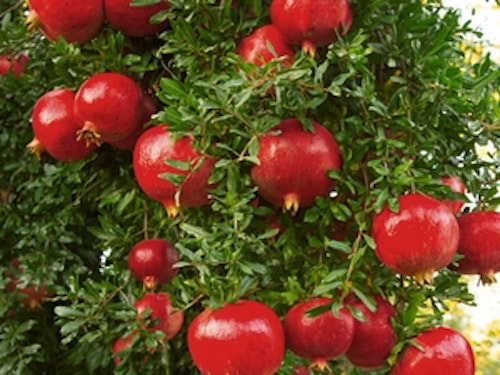 "Granatäpple ""Wonderfull"" - Punica granatum ""Wonderfull"""
