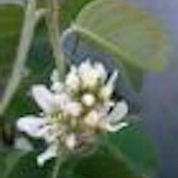 """Saskatoonbär """"Northline"""" - Amelanchier alnifolia """"Northline"""""""