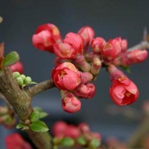 """Japansk rosenkvitten """"Rubra"""" - Chaenomeles speciosa""""Rubra"""""""