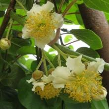 """Kiwi hanplanta """" Tomuri"""" - Actinidia chinensis """"Tomuri"""""""