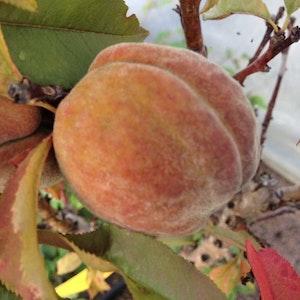 """Dvärg persikoträd """"Bonanza"""" Prunus persica """"Bonanza"""""""