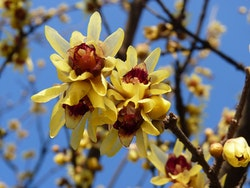 Vinterkryddbuske - Chimonanthus praecox