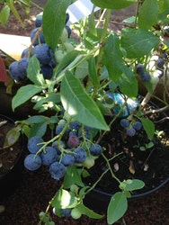 "Amerikansk blåbär ""Denise Blue"" – Vaccinium corymbosum ""Denise Blue"""