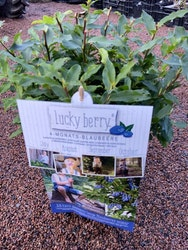 Blåbär 'Luckyberry'®  - Vaccinium cylindraceom 'Luckyberry'®