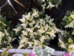 "Japansk benved ""Paloma Blanca"" - Euonymus japonica ""Paloma Blanca"""