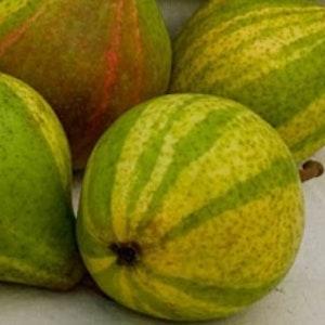 Randig päron -Pyrus communis `Schweizer Hose`
