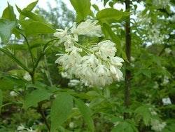 Kaukasisk pimpernöt - Staphylea  colchica