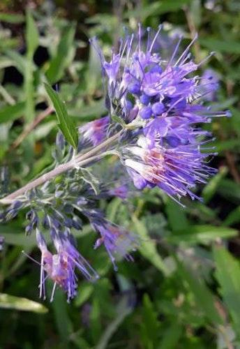 "Skäggbuske   ""Kew Blue"" - Caryopteris clandonensis ""Kew Blue"""