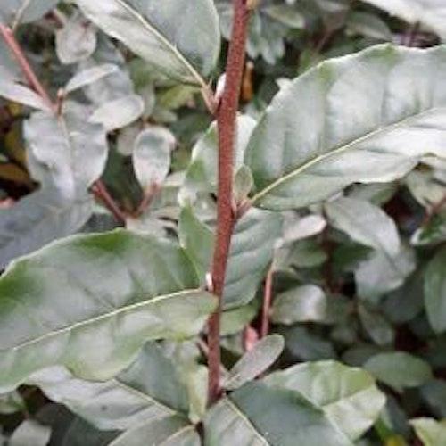 """Koreansksilverbuske """"Jewel"""" - Elaeagnus umbellata """"Jewel"""""""