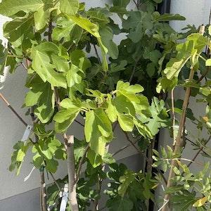 Fikonträd på stam -  Ficus carica
