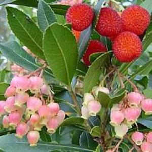 """Smultronträd """"Rubra"""" Arbutus unguicularis""""Rubra"""""""