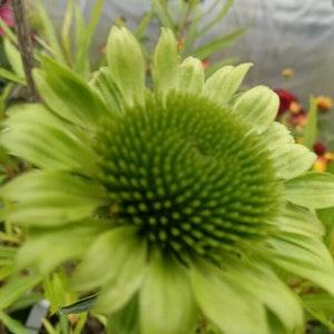 """Solhatt """"Green Jewel"""" - Echinacea p. 'Green Jewel'"""