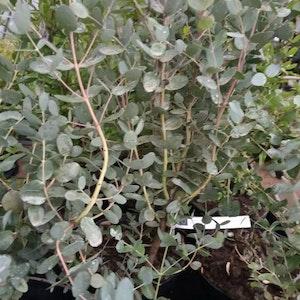 Silvereukalyptus - Eukalyptus gunnii
