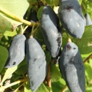 Blåbärstry ´Blue Banana` - Lonicera coerulea var. kamtschatica ´Blue Banana`