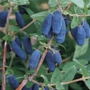 """Blåbärstry """"Blue Velvet"""" -Loniceria caerulea var. kamtschatica """"Blue Velvet"""""""