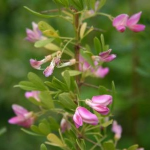 Saltbuske - Halimodendron halodendron
