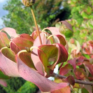 Kinesisk blomsterkornell  'Schmetterling' -  Cornus kousa 'Schmetterling'