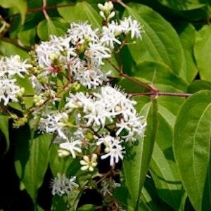 Jamintry - Heptacodium miconioides