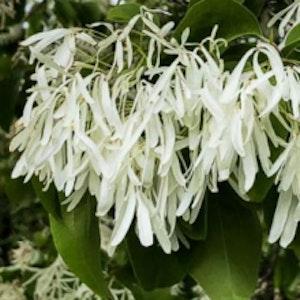 Kinesisk snöflockbuske - Chinonanthus retusus