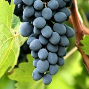 """Vindruva """"Moldova"""" - Vitis vinifera  """"Moldova"""""""