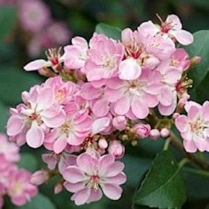 Indian hagtorn 'Enchantress' - Raphiolepsis x delacourii 'Enchantress'