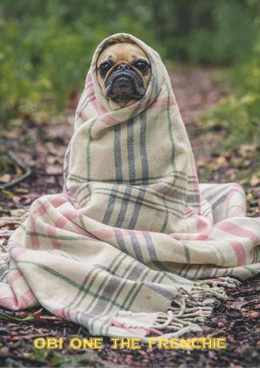 Fransk Bulldog, French Bulldog