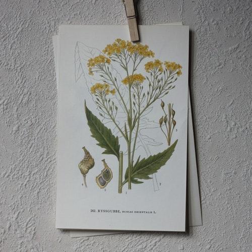 Florabild - Ryssgubbe