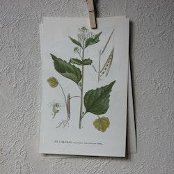 Florabild - Löktrav