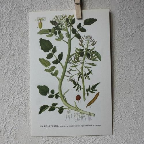 Florabild - Källfräne
