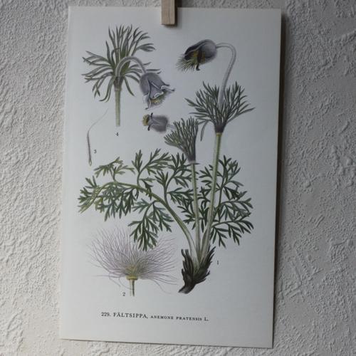 Florabild - Fältsippa