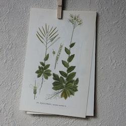 Florabild - Fjälltrav