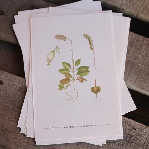 Florabild - Björnvintergröna