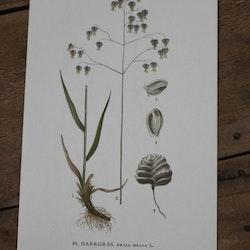 Florabild - Darrgräs