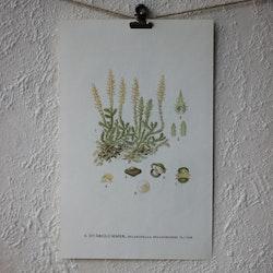 Florabild - Dvärglummer