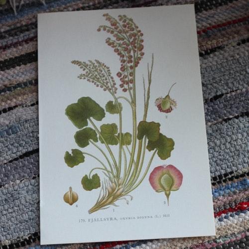 Florabild - Fjällsyra