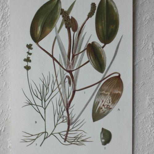 Florabild - Gäddnate, Borstnate