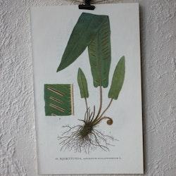 Florabild - Hjorttunga