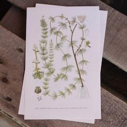 Florabild - Hårslinga