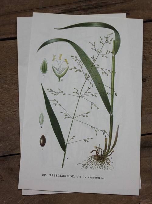 Florabild - Hässlebrodd