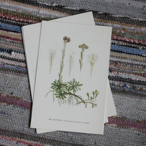Florabild - Kattfot